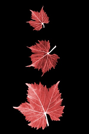 Three different sized red grape leaves in front of black background Stock Photo - 9961264