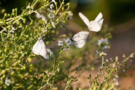alfresco: Melanargia larissa type of anatolia butterflies at feeding on the flowers
