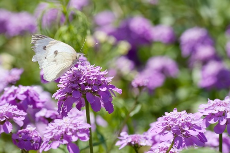 differed: A melanargia larissa kind of anatolia butterfly at feeding on purple hydrangeas Stock Photo