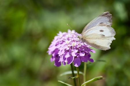 differed: A melanargia larissa kind of anatolia butterfly at feeding on a purple hydrangea Stock Photo