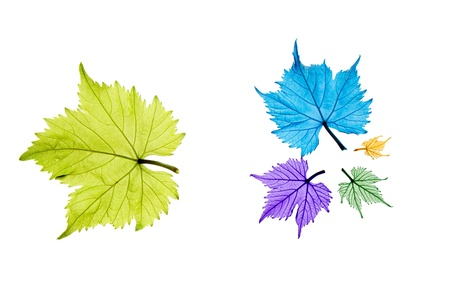 Combination of different sized and colored grape leaves on white background Stock Photo - 10057930
