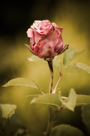 Simple beautiful faded pink rose in a green garden background Stock Photo - 14124246