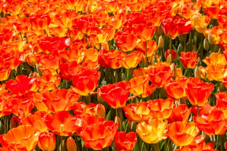 Colorful tulips at Hidivs garden which is an old and important location in Istanbul, Turkey at april photo