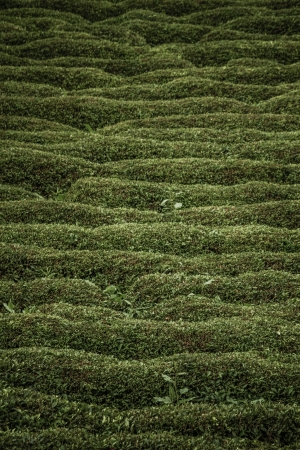 day time: Day time view of a  tea Plantation on a hillside