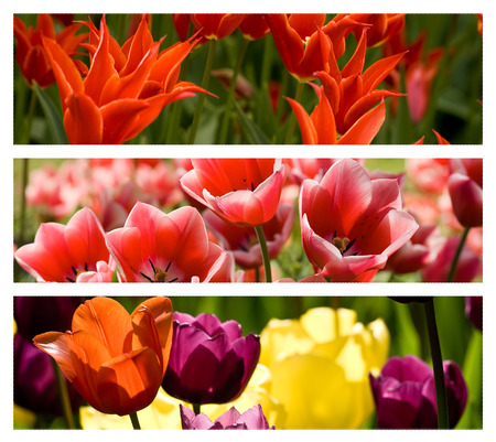 Collage from different colored such as red, ornge pink tulips  photo
