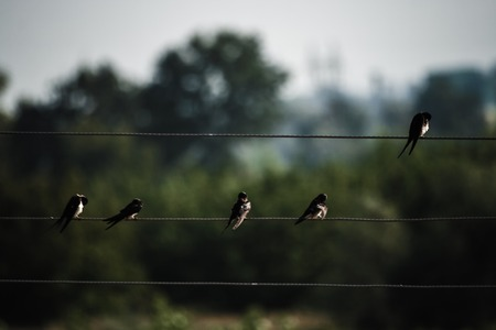 Several wild sparrow sitting on wires, on a green background photo