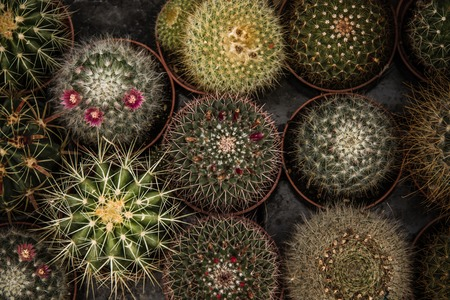 desert ecosystem: Little green cactuses with artficial colourful flowers on a bazaar