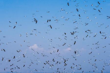 Flock of white storks in flight on blue sky photo