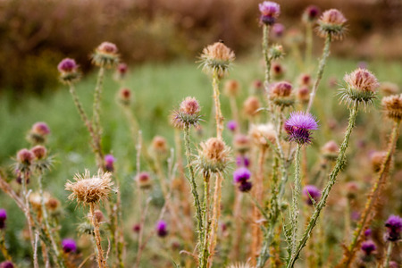 Milk Thistle plant with natural background, Carduus Marianus, Mary Thistle