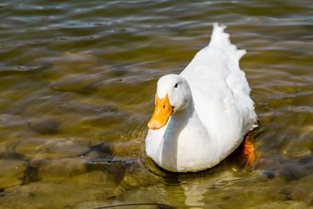 domestic duck: Domestic white duck swimming in the pond of a park