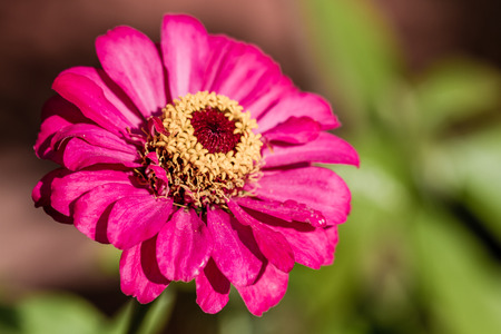 Pink Zinnia flower in garden with green leaves as background