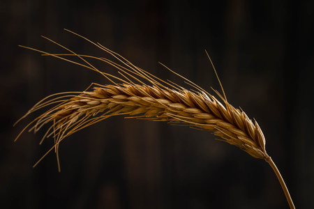 Ears of wheat on blue wooden background