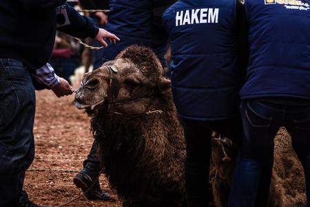 BALIKESIR, TURKEY - Mar 1, 2015 : Camels wrestling at camel wrestling festival