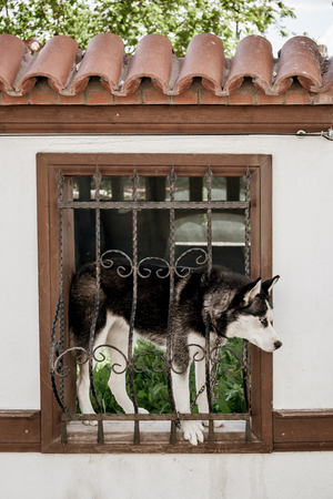 Dog on the window cage of a traditional Turkish house courtyard wall