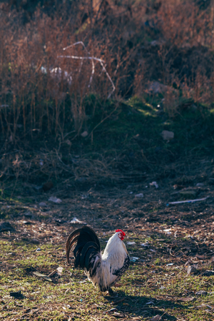Chickens and dirty old sofa in a vacant field Stock Photo