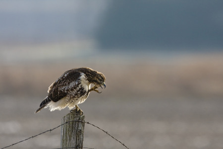 preens: Red-tailed Hawk preens his feathers