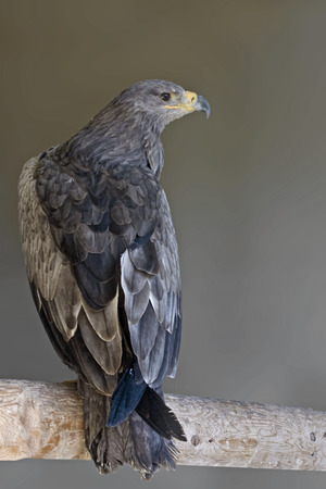 tawny: Vertical view of a Tawny Eagle Stock Photo