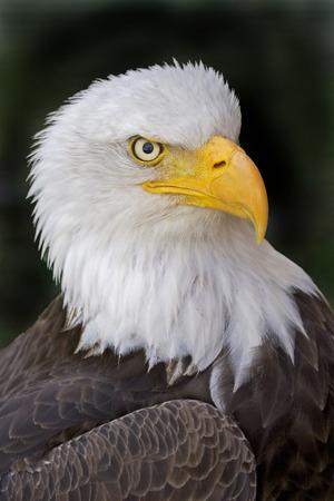 leucocephalus: Portrait of a Bald Eagle, Haliaeetus leucocephalus