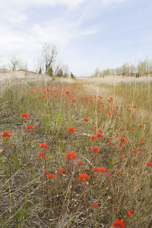 plains indian: A large field of Wild Indian Paintbrush