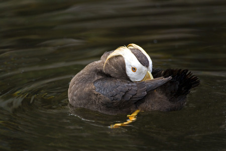 tufted puffin: Close view of a resting Tufted Puffin