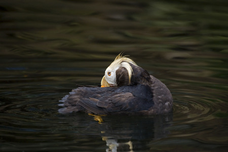 tufted puffin: Close view of a colorful Tufted Puffin