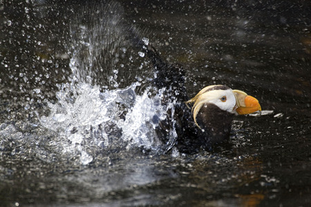tufted puffin: Close view of a splashing Tufted Puffin Stock Photo