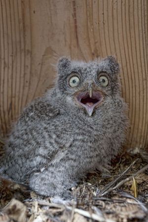 megascops: Wide eyed Eastern Screech Owl chick, Megascops asio