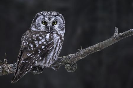 Hunting Boreal Owl, Aegolius funereus