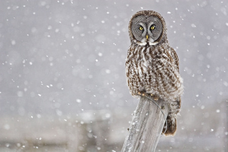wise old owl: Great Gray Owl, Strix nebulosa, staring at viewer
