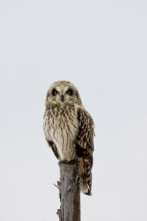 Perched Short-eared Owl, Asio flammeus, at dusk