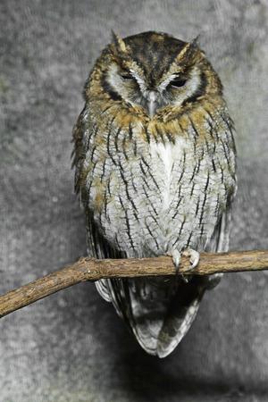 megascops: Tropical Screech Owl, Megascops choliba, arroccata