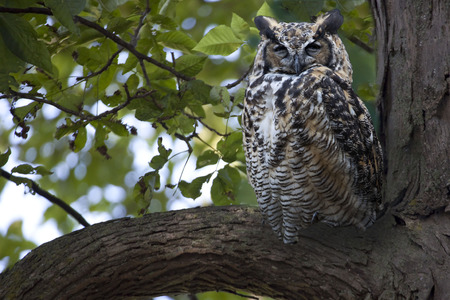 virginianus: Great Horned Owl, Bubo virginianus, roosting in a tree