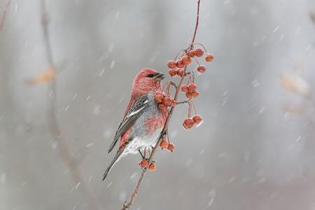 吹雪の中の男性の松アトリ科
