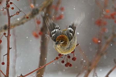 アトリ科松女性フリックその翼から雪 写真素材