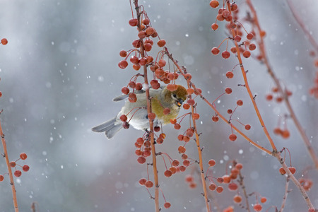 bird feathers: Female Pine Grosbeak in among Crabapples