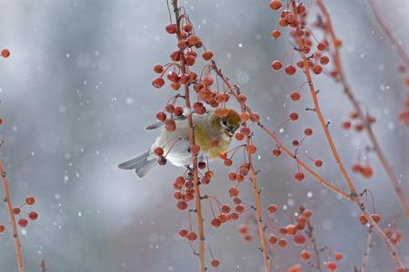 arbol pájaros: Mujer Pájaro de pino en medio de Crabapples