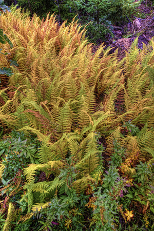 silver fern: Vertical of Colorful Golden Fern in Maine Stock Photo