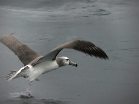 shy: Shy Albatross, Thalassarche cauta lift off Stock Photo