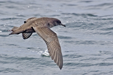 sooty: Sooty Shearwater, Puffinus griseus gliding Stock Photo
