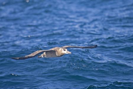 skimming: The Black-footed Albatross, Phoebastria nigripes skimming the waves