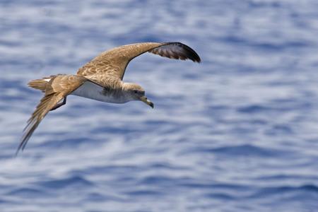 Corys Shearwater, Calonectris borealis, flying