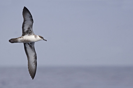 The Great Shearwater, Ardenna gravis with spread wings
