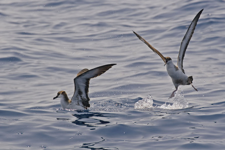 squabble: The Great Shearwater, Ardenna gravis squabble