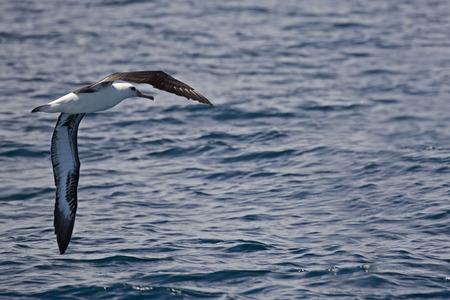 Laysan Albatross, Phoebastria immutabilis to land on the sea
