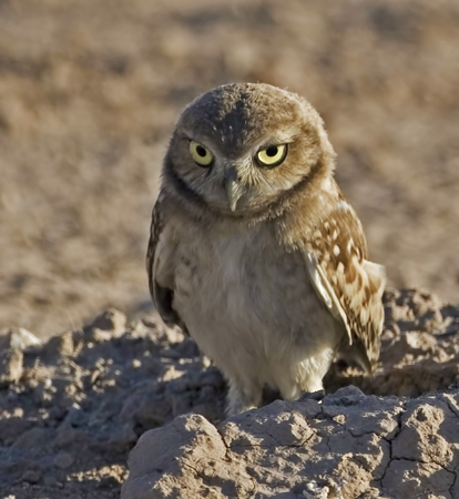 burrowing: Young Burrowing Owl, Athene cunicularia Stock Photo