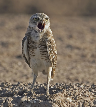 burrowing: Burrowing Owl, Athene cunicularia