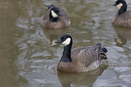 branta: A Cackling Goose, Branta hutchinsii on the water