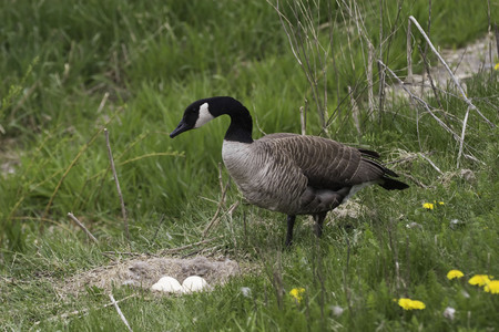 branta: A Canada Goose, Branta canadensis at the nest Stock Photo