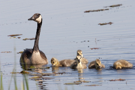 male animal: A Canada Goose, Branta canadensis, with young Stock Photo