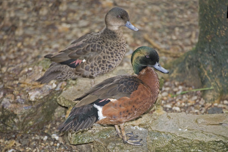 chestnut male: A Pair of Chestnut Teal, Anas castanea Stock Photo